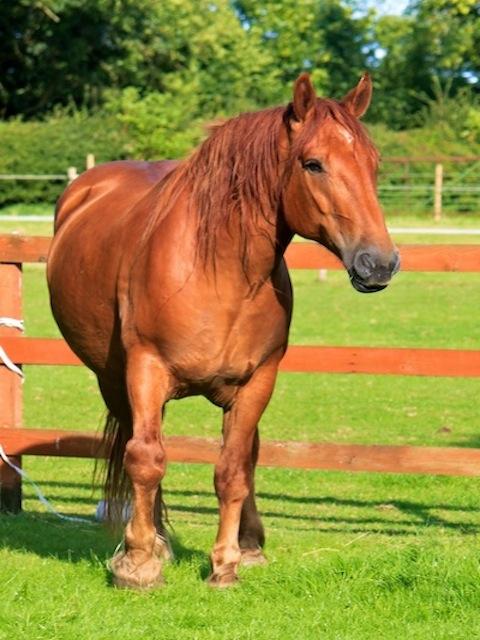 Rosie, Suffolk Punch Northcote Heavy Horse Centre