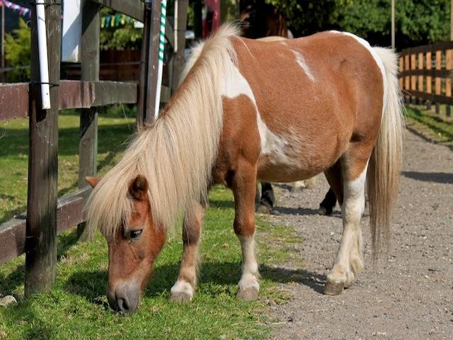 Duncan, Shetland Pony