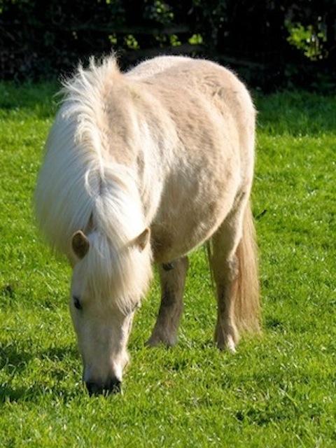 Pedro, Miniature Pony - American Northcote Heavy Horse Centre