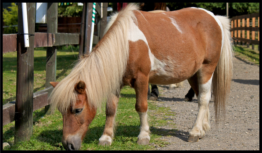 Duncan, Shetland Pony at the Norhtcote Heavy Horse Centre, Lincolnshire