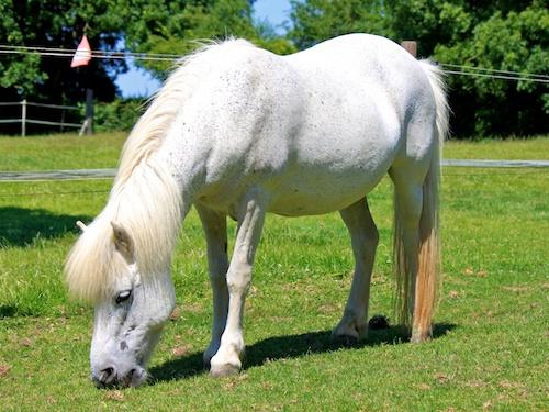 Lovell, Welsh Type Pony Northcote Heavy Horse Centre