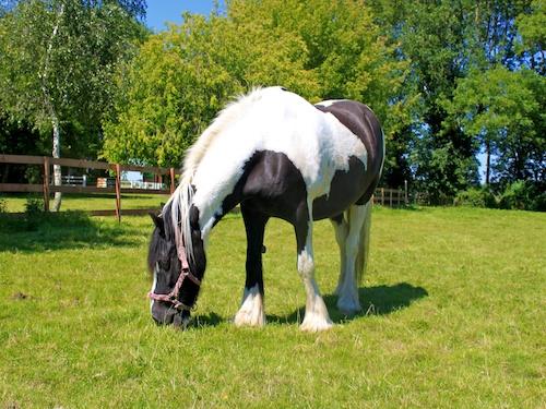 Mojo, British Cob Northcote Heavy Horse Centre