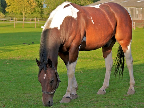 Buster, American Quarter Horse Northcote Heavy Horse Centre