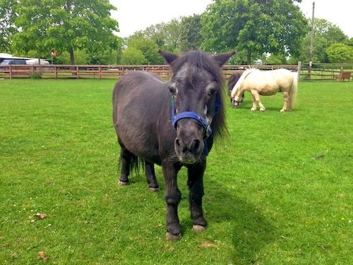 Bonnie, Shetland Pony Northcote Heavy Horse Centre