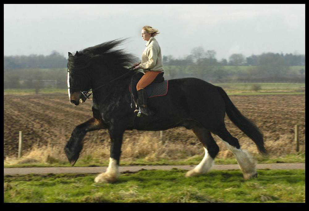 Cricket Cracker the worlds tallest Shire Horse