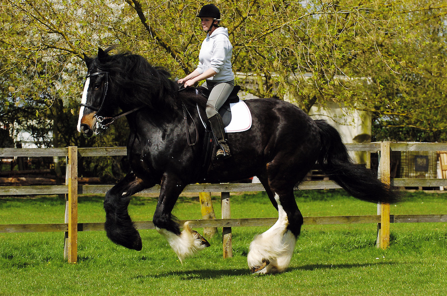 Cracker Tallest Shire Heavy Horse