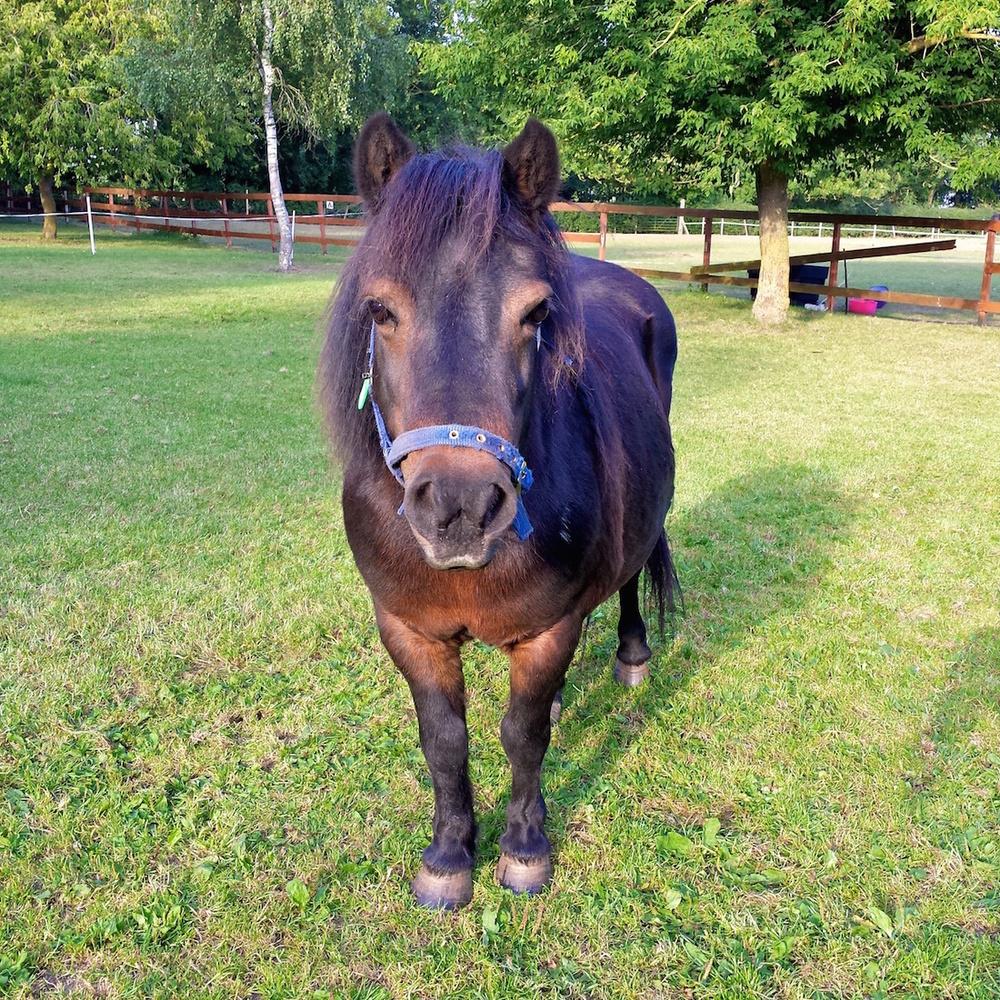 Charity Shetland Pony