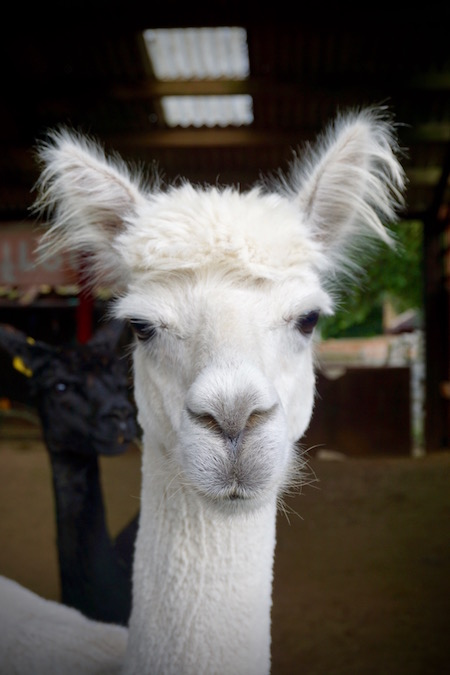 alpacas at lincolnshire animal rescue charity northcote heavy horse centre.jpg