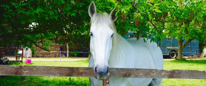 British Percheron Bosun at animal welfare rescue charity northcote heavy horse centre