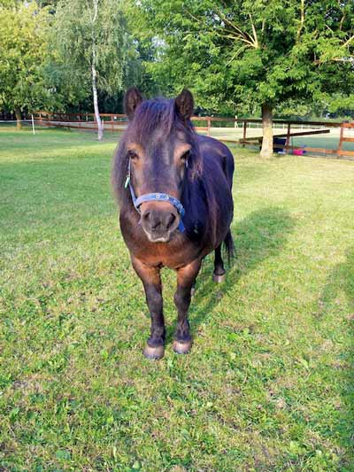 Charity, Shetland Pony Northcote Heavy Horse Centre