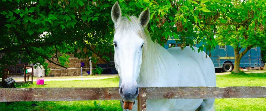 The Northcote Heavy Horse Centre is an animal welfare charity looking after heavy horses, ponies and more like Bosun above, a British Percheron Heavy Horse.