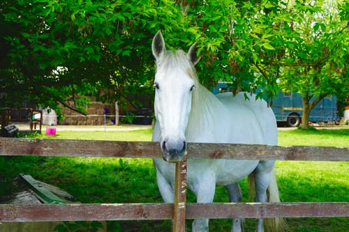 Bosun - Bosun is a British Percheron.Born in 2002.Grey coloured.17.3 Hands High.Find out more here...