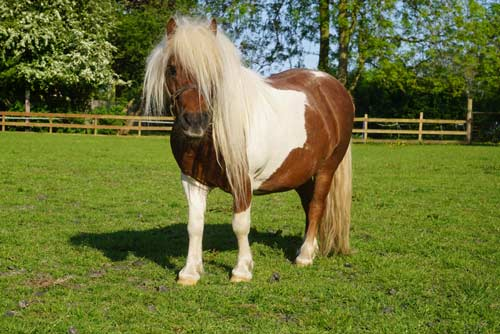 Merlin - Merlin is a Shetland Pony.Unknown age.Piebald coloured.XX Hands High.Find out more here...