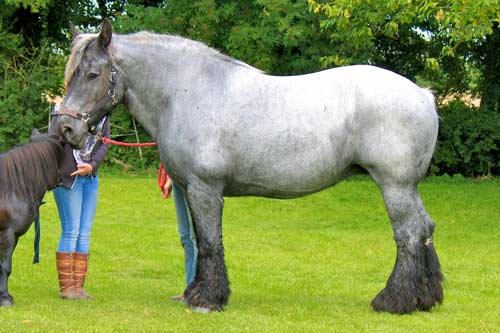 Moose - Moose is a Belgian Trekpaard.Born in 1998.Bay coloured.18.1 Hands High.Find out more here...