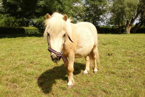 Pedro - Pedro is a Miniature Pony.Born in 2009.Palamino coloured.XX Hands High.Find out more here...