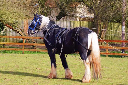 Shiloh - Shiloh is a Gypsy Cob.Born in 2010.Piebald coloured.15.2 Hands High.Find out more here...