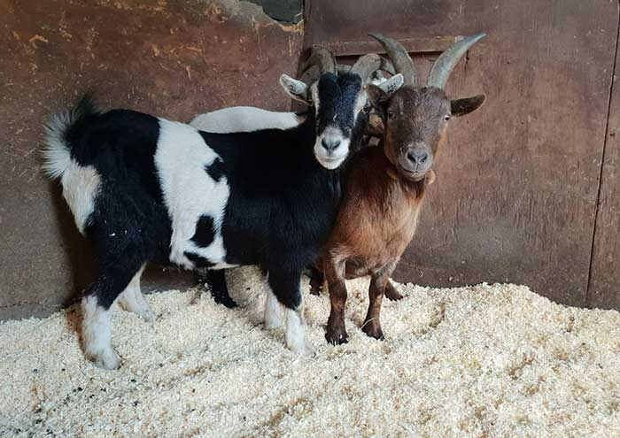 The Goats - Badger the Pygmy Goat.Toggles the Pygmy Goat.Alex the Pygmy Goat.