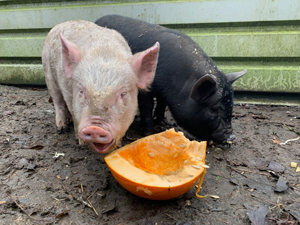 The Pigs - Sage & Onion, the pigs.Find out more here...