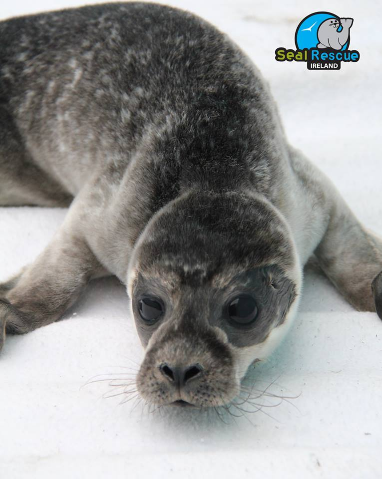 sealrescueireland_commonsealpup.jpg