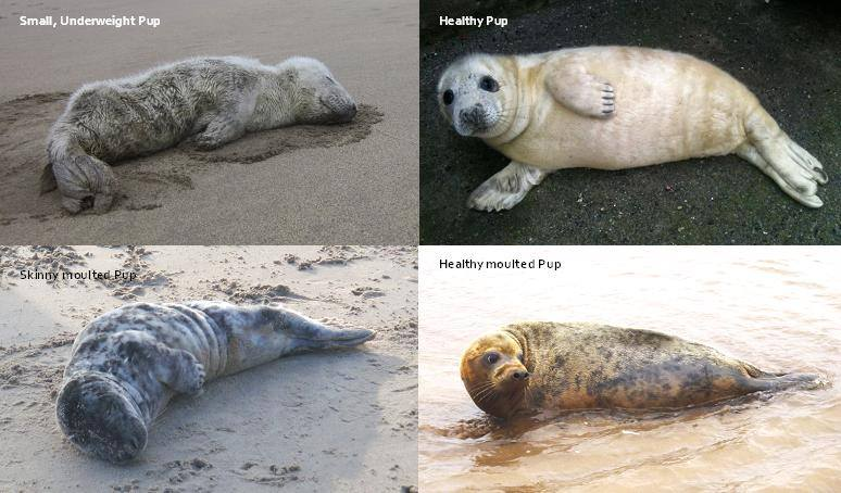 Gray seals. Both pre-moult and post-moult.
