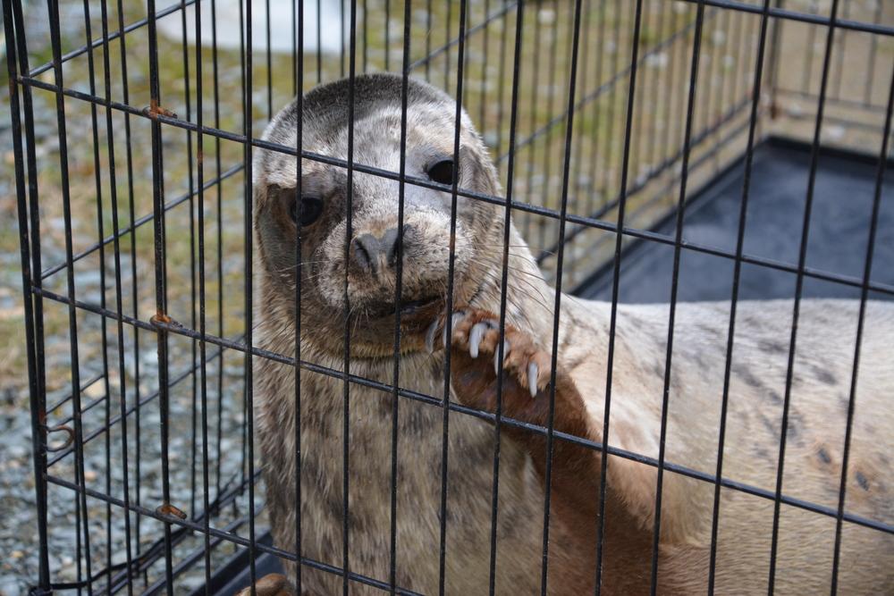 seal - 2016 - seal release - east coast - courtown - north beach - spidergirl - grey seal - female - dog kennel.JPG
