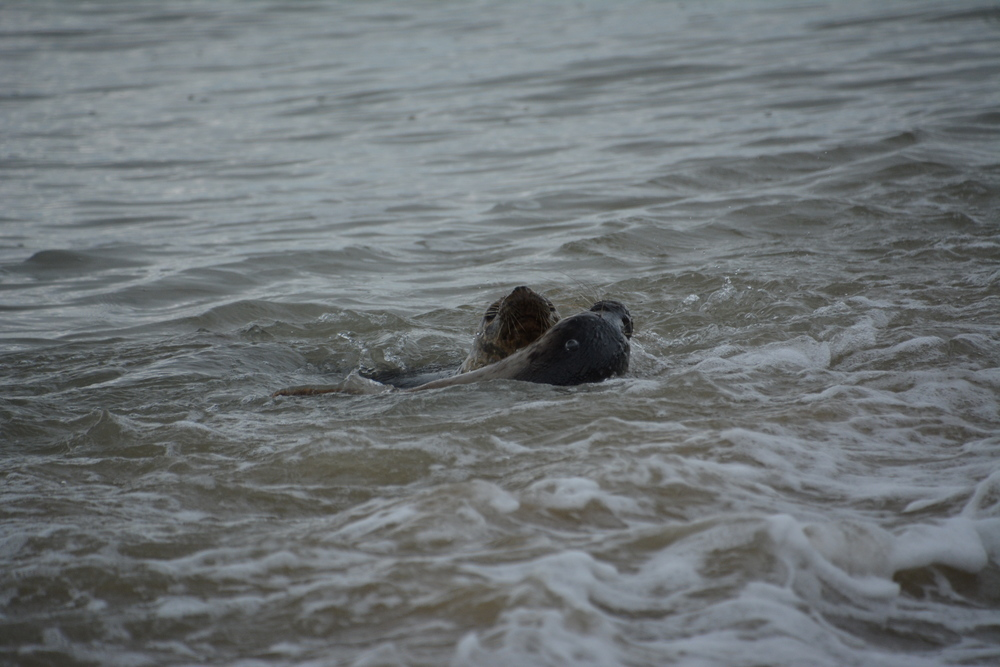 seal - 2016 - seal release - dr doom - spidergirl - playing - ocean - grey seals - east coast - north beach.JPG