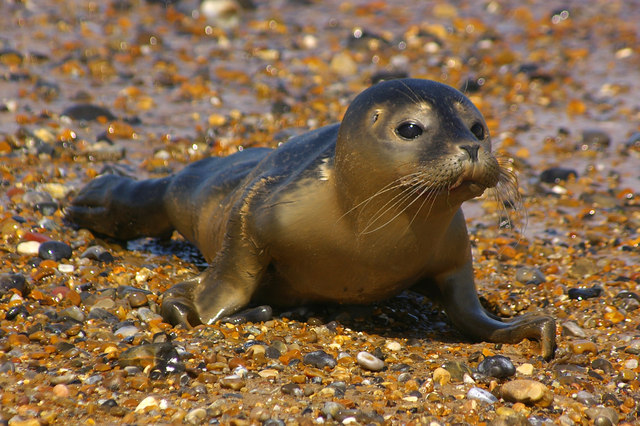 Common seal pup ireland.jpg