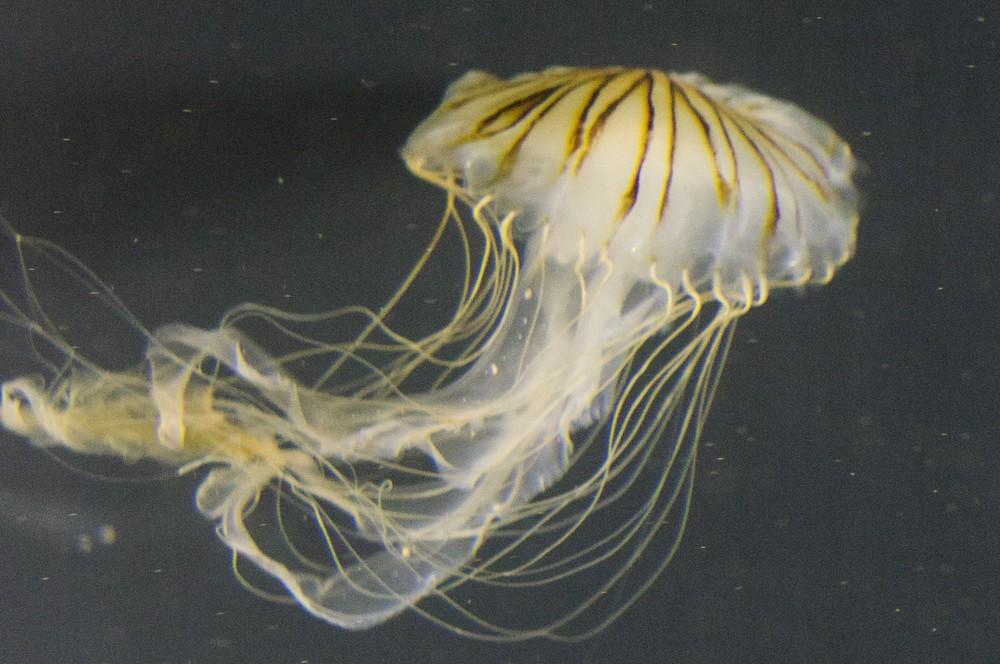 Jellyfish photo.jpg