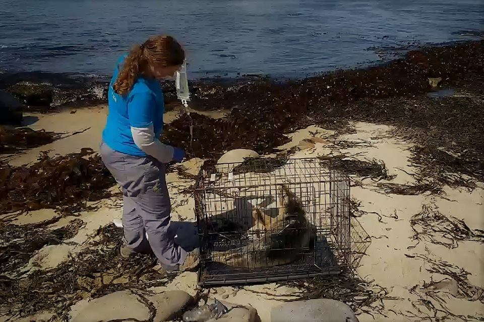One of our resident volunteers Gale gives much needed fluids to a grey seal during a rescue in May 2018