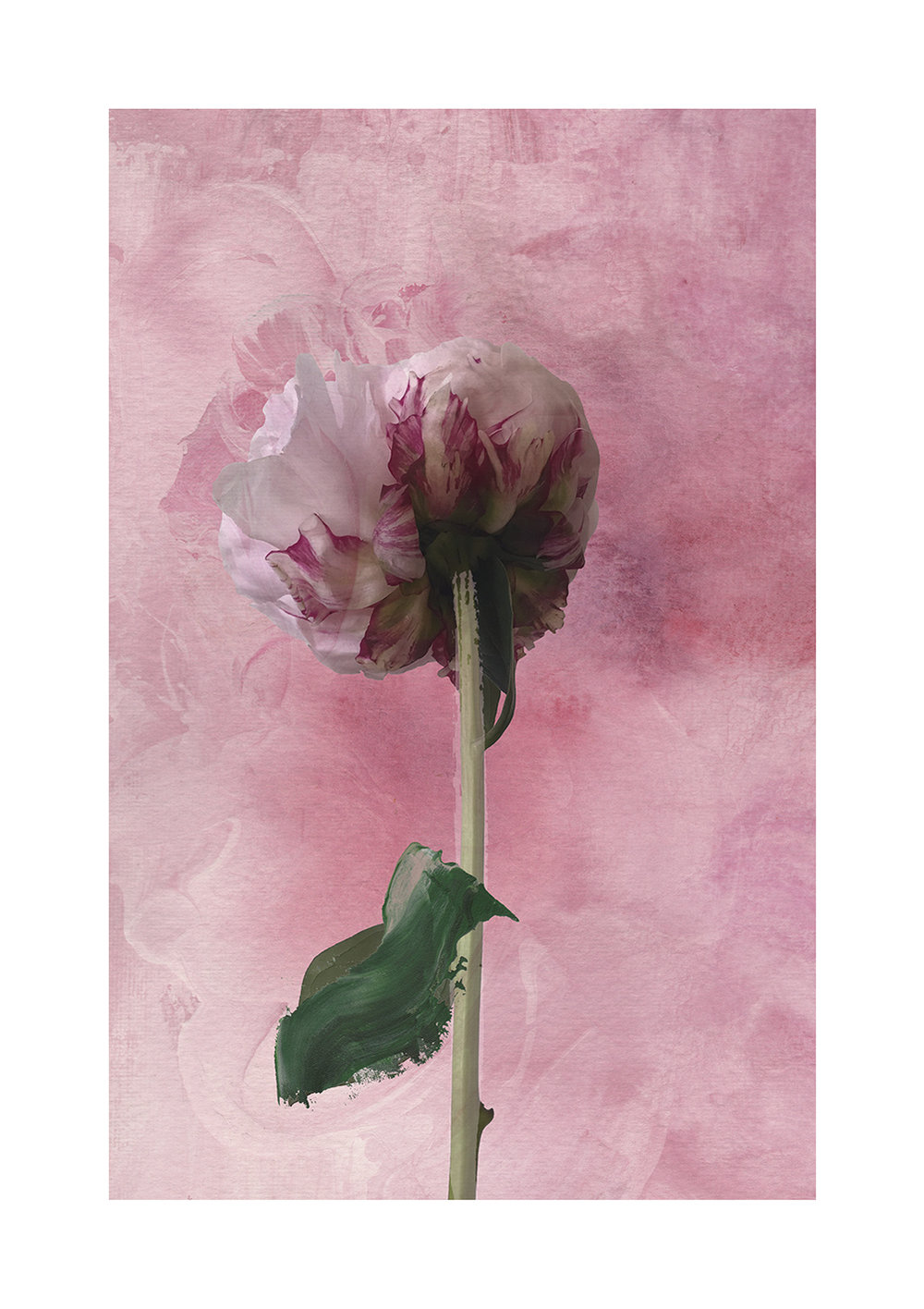 Blushing Peony Limited Edition Print