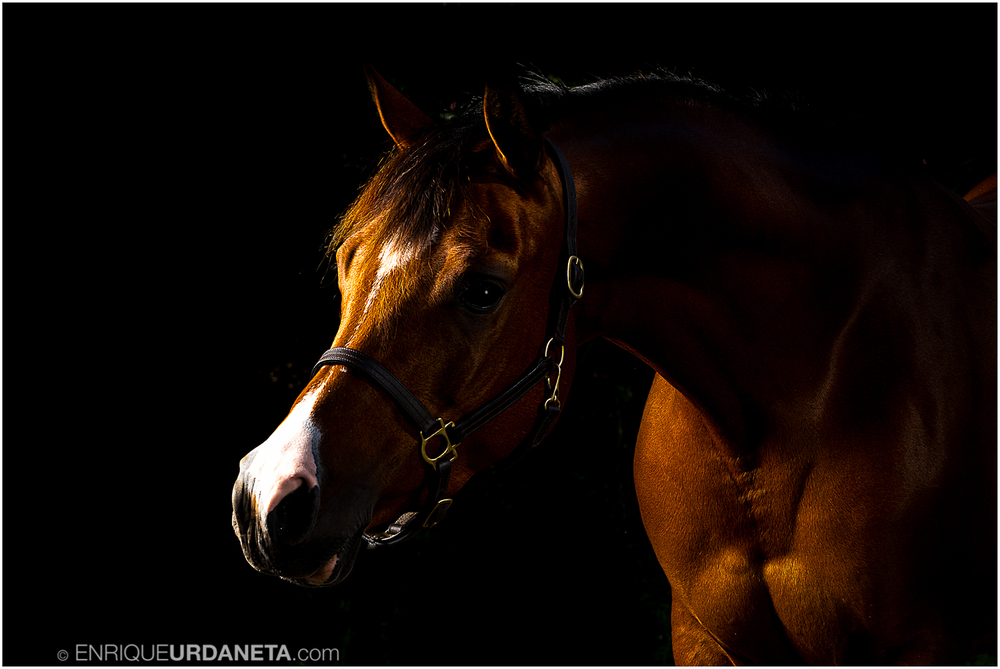 Arabian Horse Photography