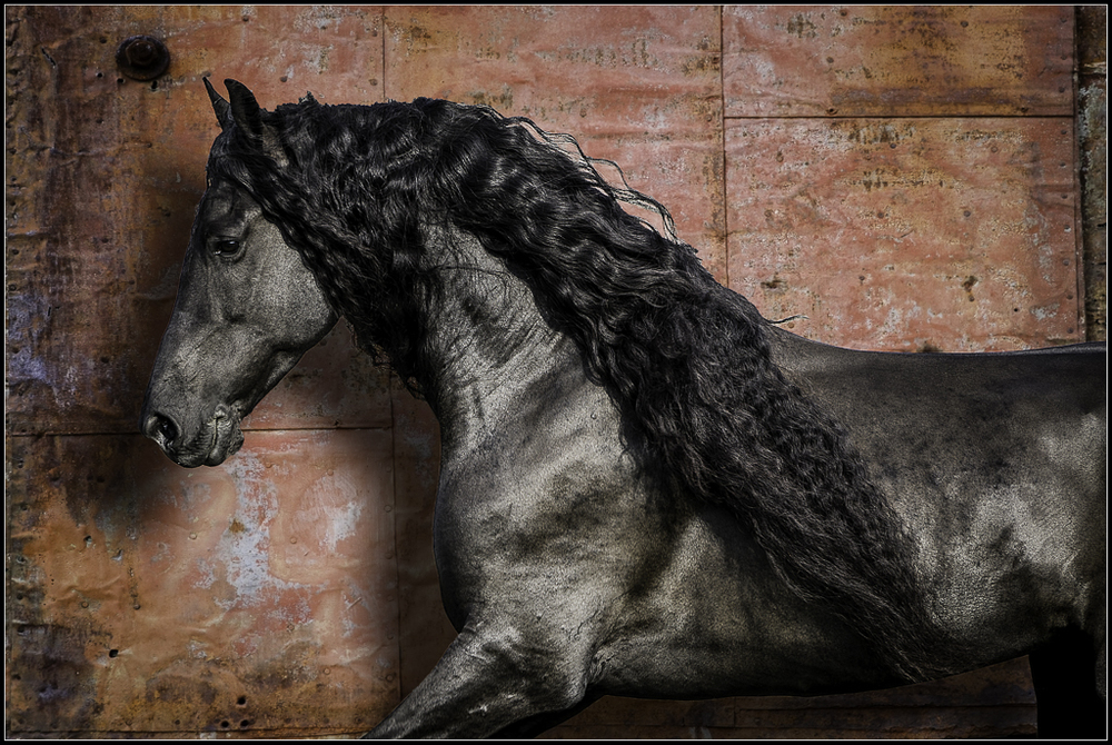 Friesian Horse Photography