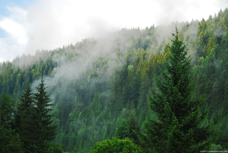 coniferous-forest.jpg