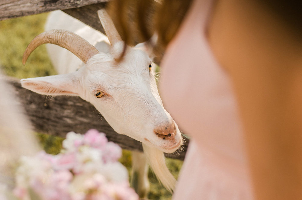country wedding with farm animals photo