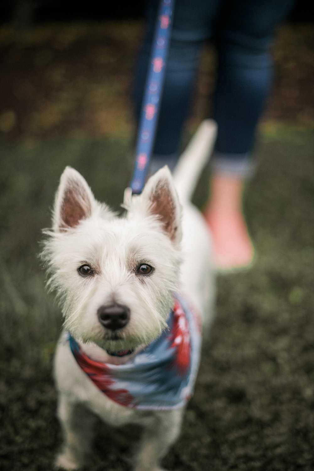 Westie terrier looking at the camera