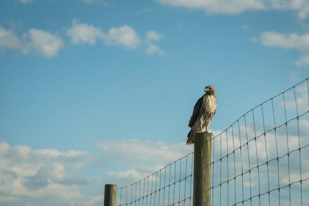 Hawk sitting on fence post