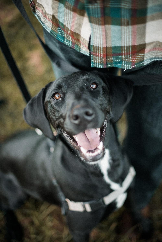 black lab smiling at camera