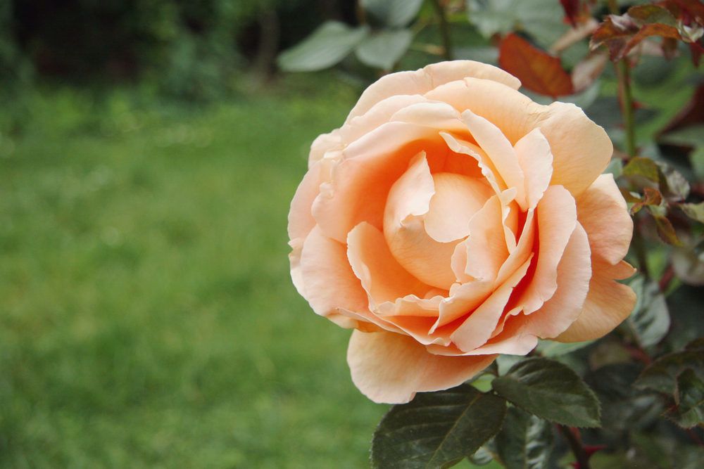 Beautiful peach and pink roses.