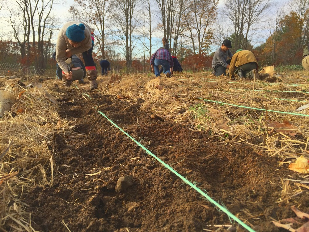 Digging & planting. We have to shove aside the straw, still laying there from the last planting.