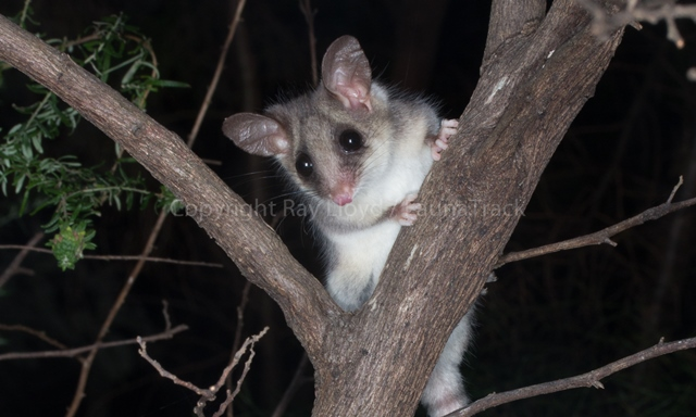 Pygmy-possum.jpg