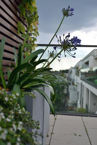 Schmucklilie in hohem Pflanzgefäß