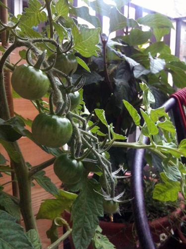 Tomaten auf Suedbalkon