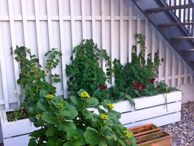 Kletterpflanzen Dachterrasse Berlin