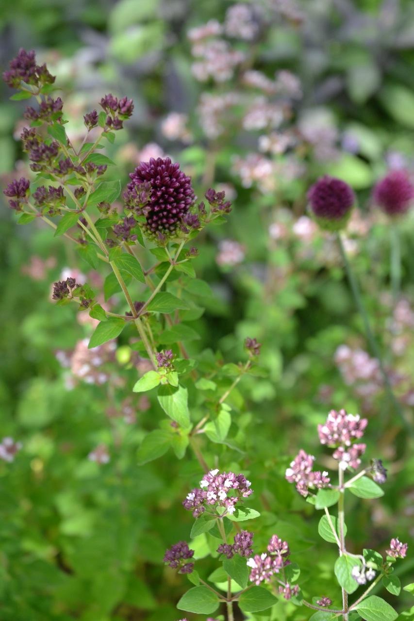 Origanum und Allium Baugruppe Berlin