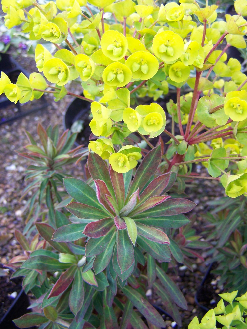 EuphorbiaRedwing2.jpg