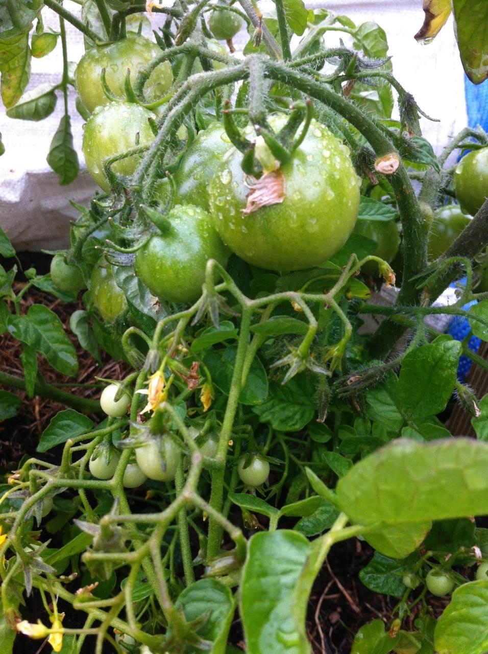 Tomaten im Topf in Berlin