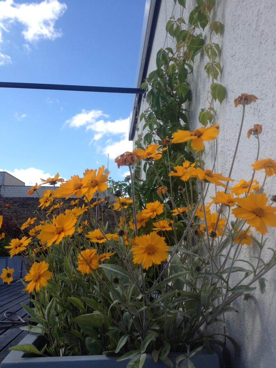 Kletterpflanzen Dachterrrasse in Berlin