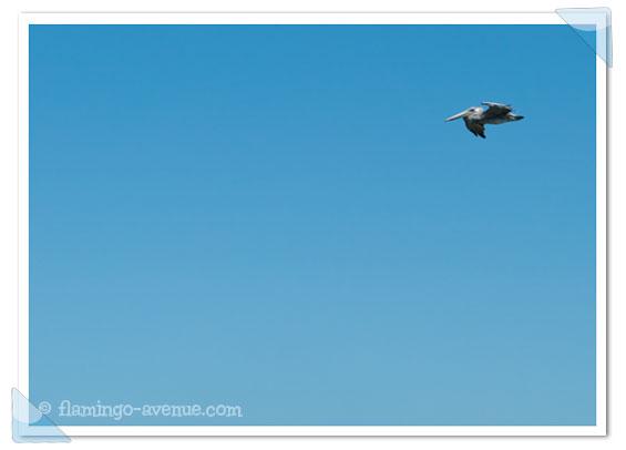 Pelikan in San Francisco, USA