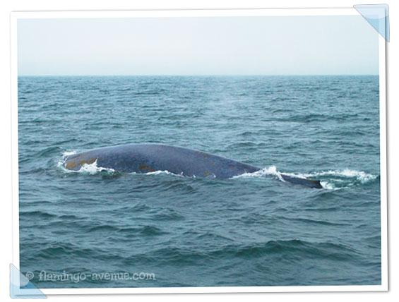 Blauwal in Monterey, USA