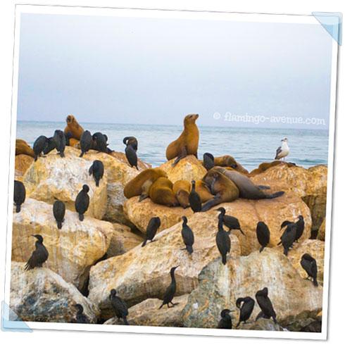 Seelöwen in Monterey, USA